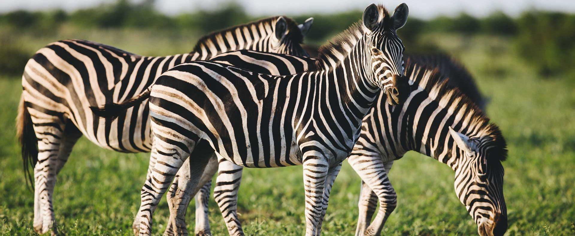 three-common-zebras-foraging-on-savanna-Z45GP7M.jpg